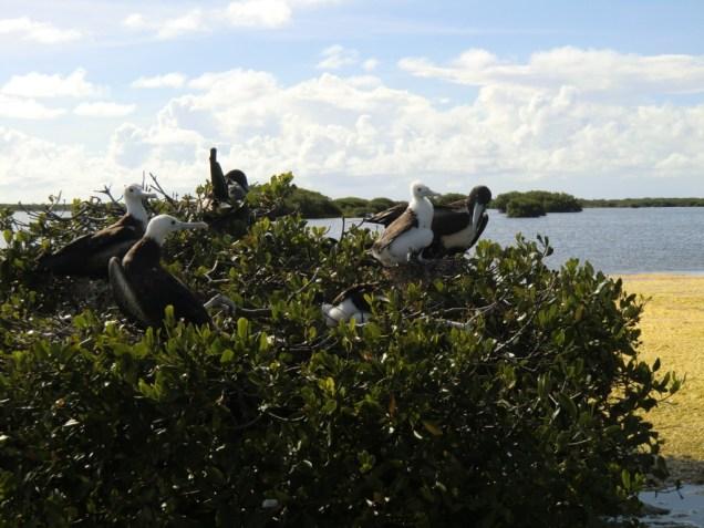 Colonie de fregates de Barbuda