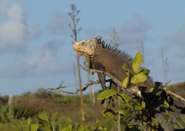 Un des nombreux iguanes de petite Terre