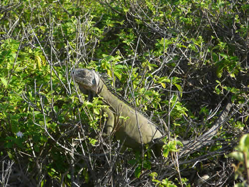 iguane-petite-terre