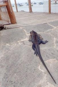 Iguane sur le trottoir de Puerto Baquerizo