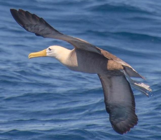 31 Albatros