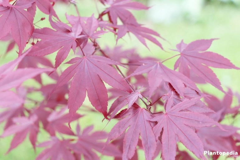 Japanese Maple Tree, Acer Palmatum - How To Plant And Care - Plantopedia inside Maple Tree In German