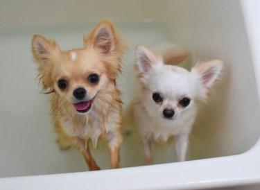 犬がお風呂が好きか嫌いかのポイントと風呂好きになるコツ