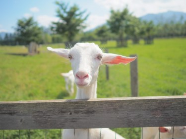 ヤギの飼育の費用とは?ヤギを飼うときのポイントや注意点
