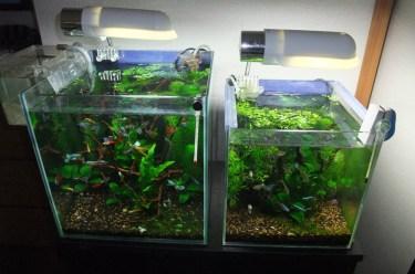グッピーの稚魚は親や成魚に食べられる!稚魚を増やす方法