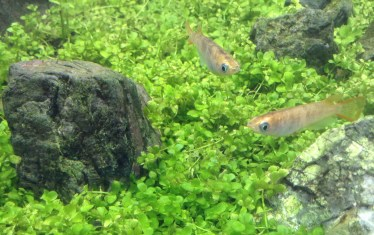 ミナミヌマエビとメダカの稚魚の混泳と混泳のメリットを解説
