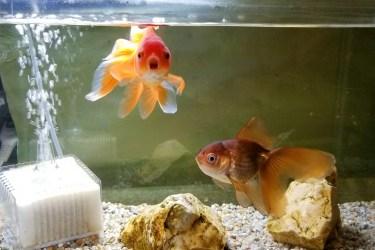金魚の薬浴期間はどのくらい?薬浴の手順と飼育方法を解説