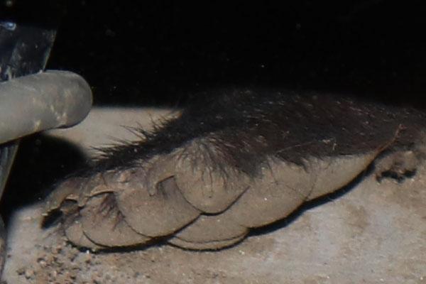 アナグマの足