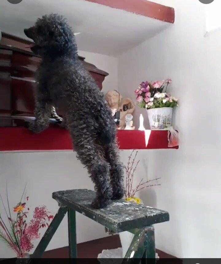 Benito: El perrito que se emociona cuando va a visitar la tumba de su dueña fallecida
