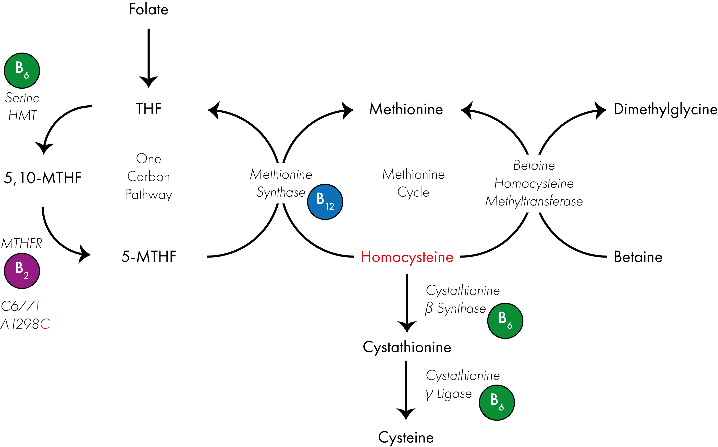 The Science Of Mthfr Mutations Explained