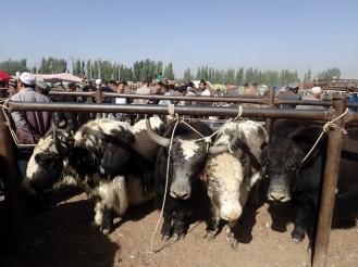 Kashgar : foire aux bestiaux | animal market