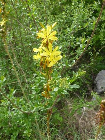 asphodeline jaune 2