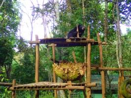 Ours du Laos | Laos bear