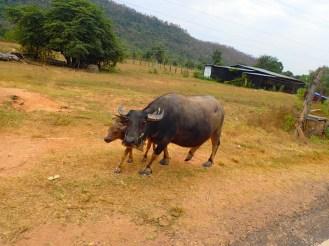 Buffles | Water buffalos