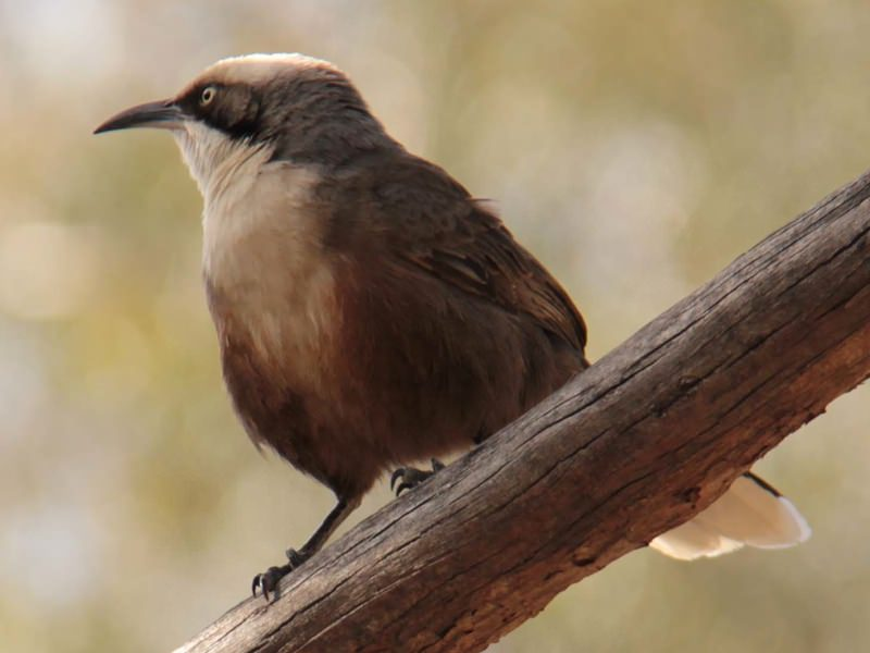 Grey Crowned Babbler