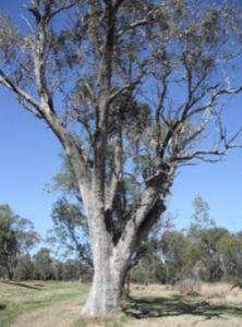 Black Jack Creek Tree