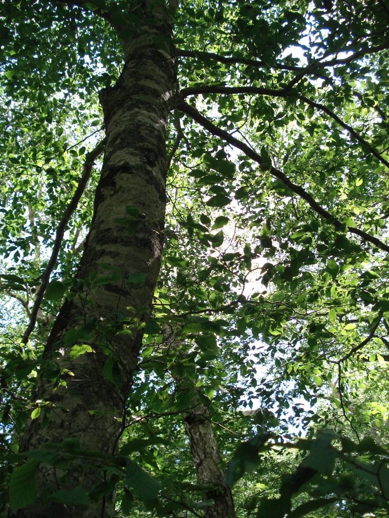 beech-trees