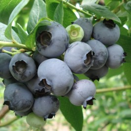 Oze National Park Katashina blueberry fruit garden 'Kaneko Orchard': Very Berry Delcious