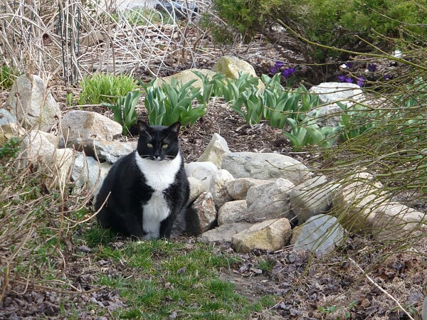 Mr. Mittens, in a rare daytime appearance, March 31, 2009.