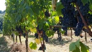 Sangiovese grapes Chianti Italy