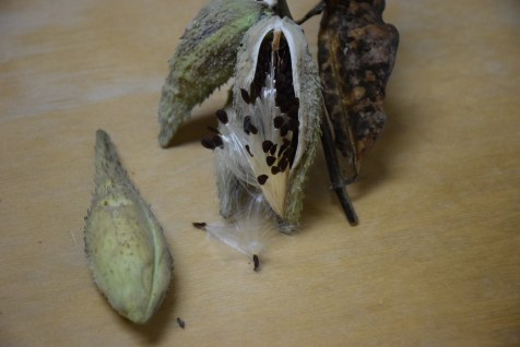 Open Seed Pod Next to Closed One