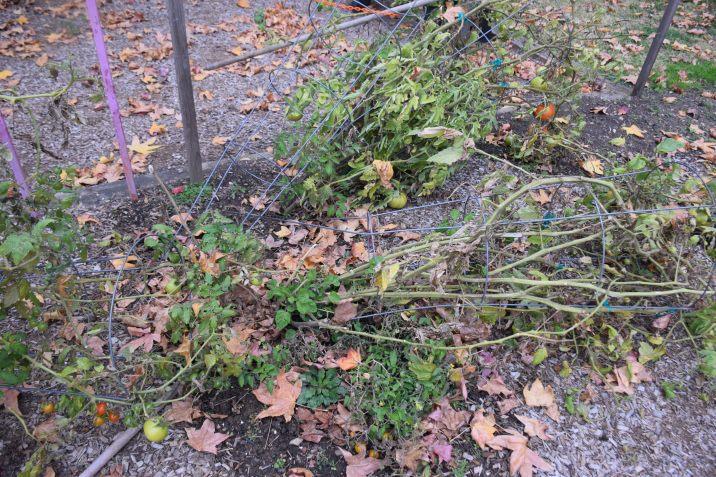 Tomato Plants Fell Over