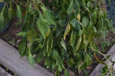drooping pepper plant