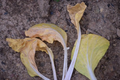 yellowed bok choy leaves