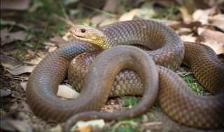 king-brown-snake-australia