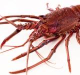 lobster4_bg
