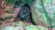 5115-zebra-moray-diving-meno-wall-at-gili-islands-lombok-indonesia-diveplanit-5115