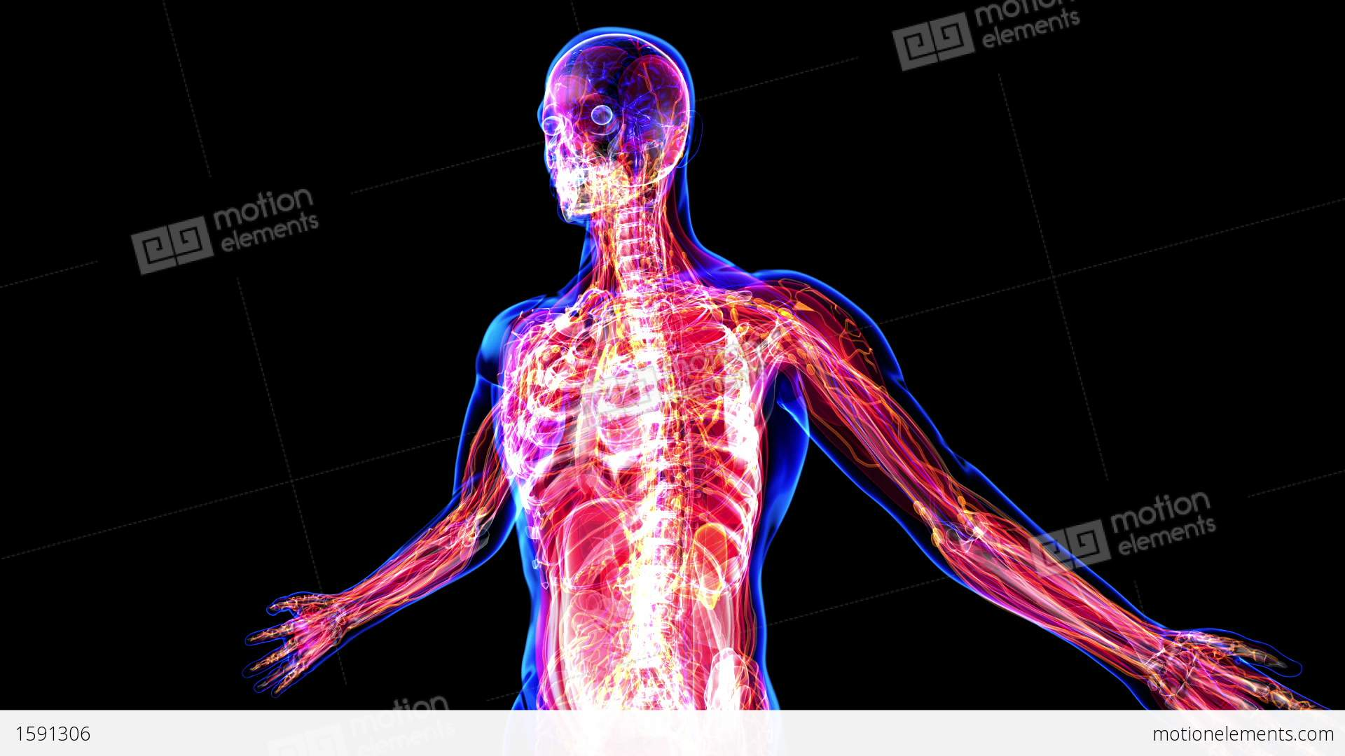 Anatomy Of The Human Body Stock Animation