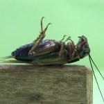 Howzat! Study explains mystery of crickets playing dead   The Asahi Shimbun: Breaking News, Japan News and Analysis 💥😭😭💥
