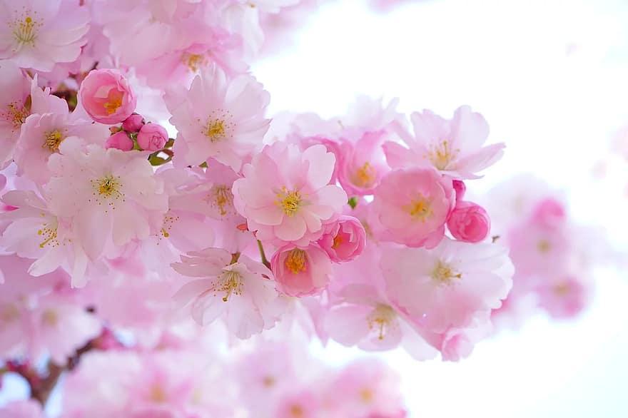 cerisiers japonais fleurs printemps