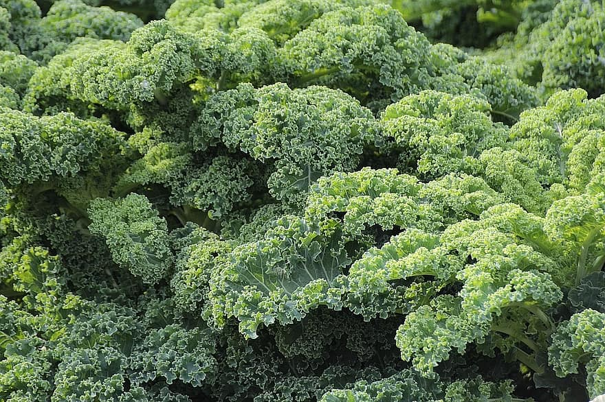 kale, vegetables, brassica oleracea var, sabellica l, cruciferous plant, brassicaceae, winter vegetables, kohl, delicious, food