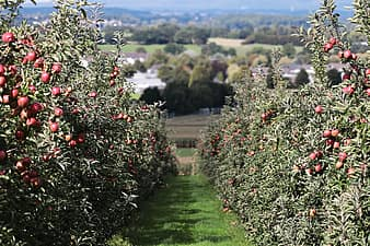 apple, landscape red, apple orchard, delicious, fruit, vitamins, fresh, red apple, nature, healthy, ripe