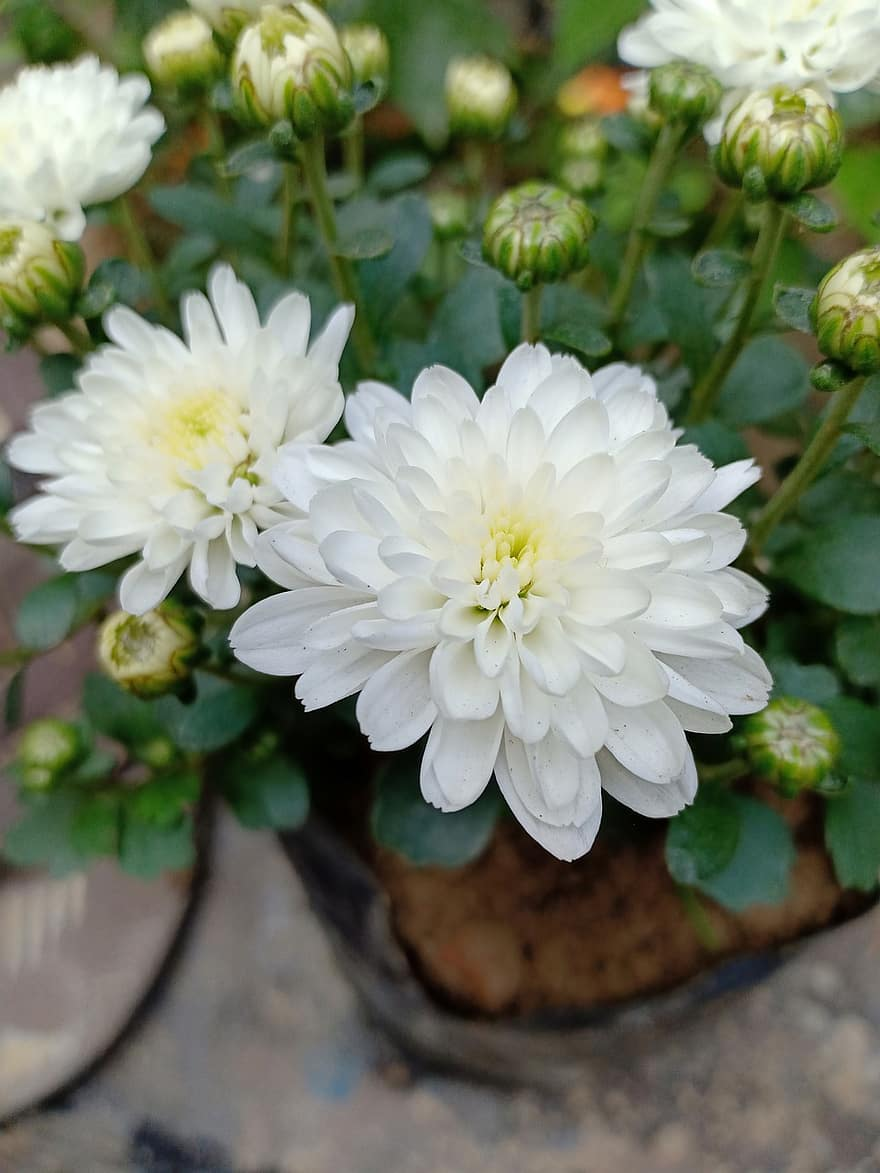 Flowers Beautiful Flowers White Color Flowers Beautiful White Color S Beautiful White Flowers Wallpaper White Flowers Flower Wallpapers Indian Flowers Pikist