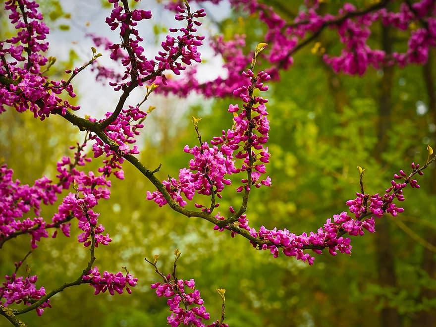 arbre de judas chinois arbre fleurs