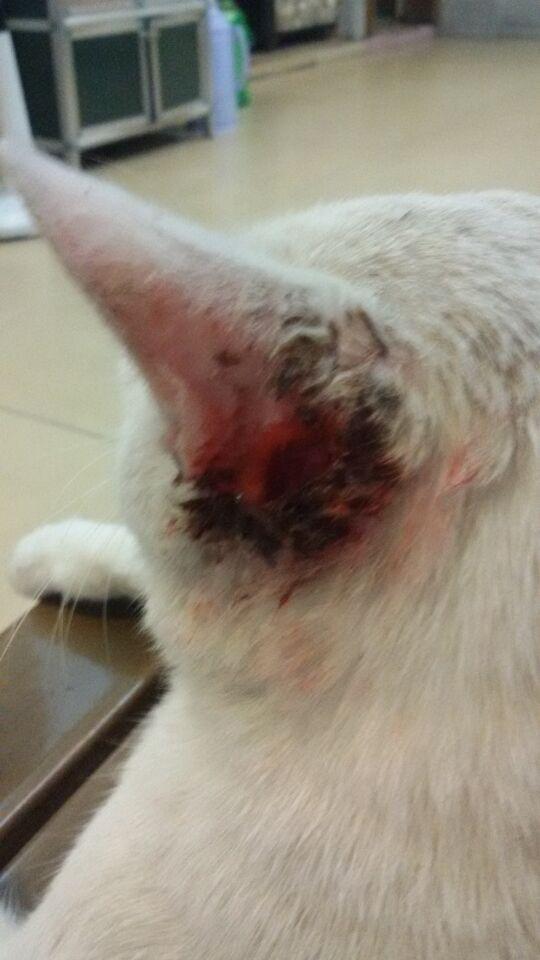 耳朵受傷而且化膿了這里沒有寵物醫院應該怎么辦?