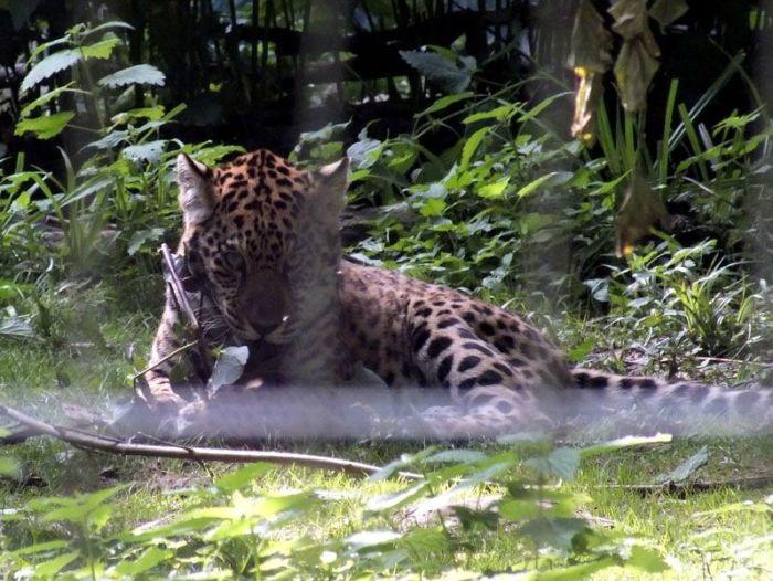 parc-des-felins-nesle-seine-et-marne-lion-blanc-jaguar-guepard-tigre-lorike-bebe-lynx-lapin-elevage-reproduction (7)