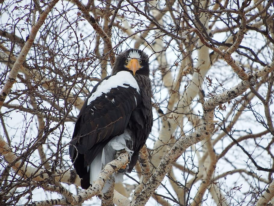 black, white, bird, perched, tree branch, daytime, steller's sea eagle, predator, eyes, beak
