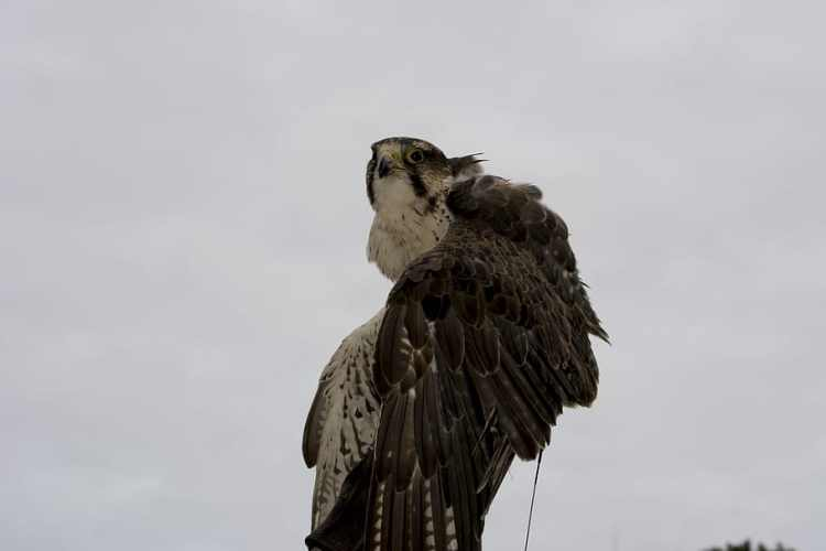 peregrine, falcon, bird of prey, raptor, bird, predator, animal, wildlife, nature, hunter