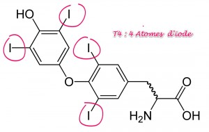 Thyroxine - T4