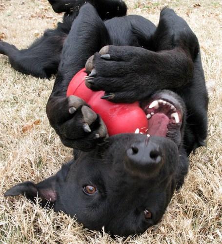chien joue avec Kong