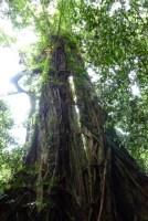 Mossman Gorge Fig Tree (2)