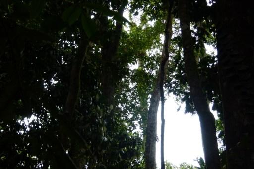 Mossman Gorge Rain Forest Trees