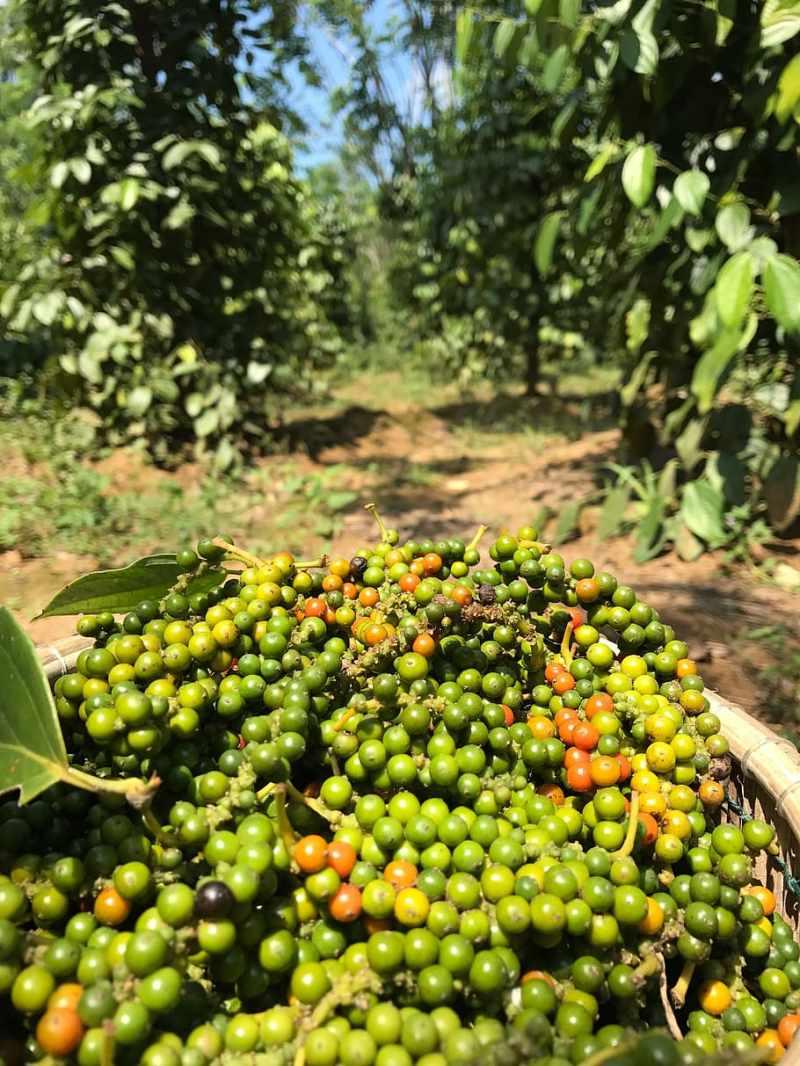 Pfefferkorn, Ernte, organisch, Pfeffer, würzen, natürlich, Lebensmittel, Essen und Trinken, gesundes Essen, Pflanze, Obst, Frische, grüne Farbe, Wachstum, Landwirtschaft, Baum, Olive, Natur, Tag, Gemüse, Grüne Olive, Fokus auf den Vordergrund, große gruppe von gegenständen, Container, Land, keine Leute, draußen, reif, Plantage, 4K, CC0, gemeinfrei, lizenzfrei