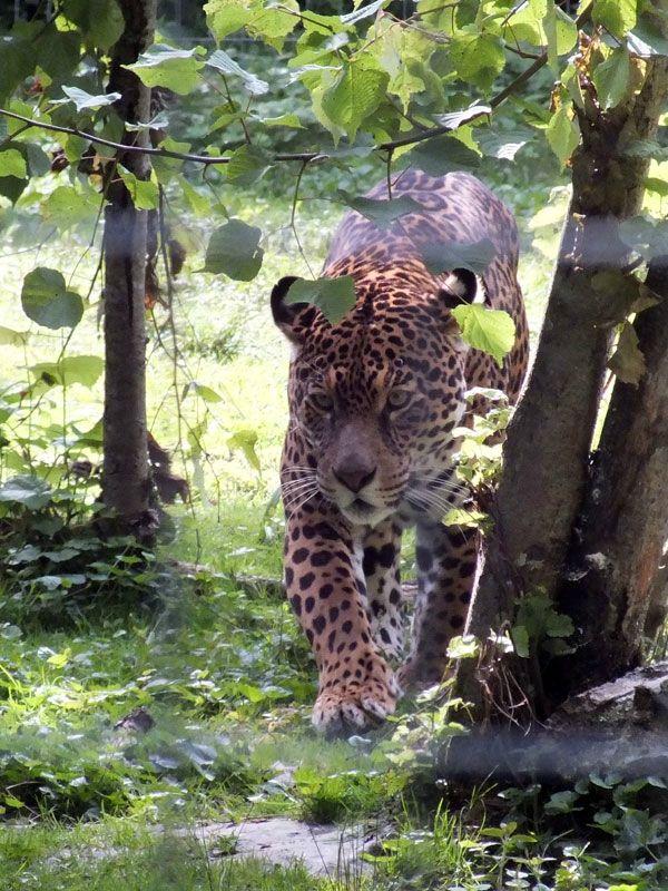parc-des-felins-nesle-seine-et-marne-lion-blanc-jaguar-guepard-tigre-lorike-bebe-lynx-lapin-elevage-reproduction (5)