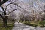 nijo-cerisiers