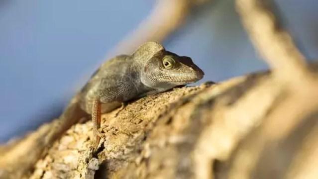 Os lagartos da ilha, criticamente ameaçados de extinção, estão presentes agora em abundância, após o desaparecimento dos ratos